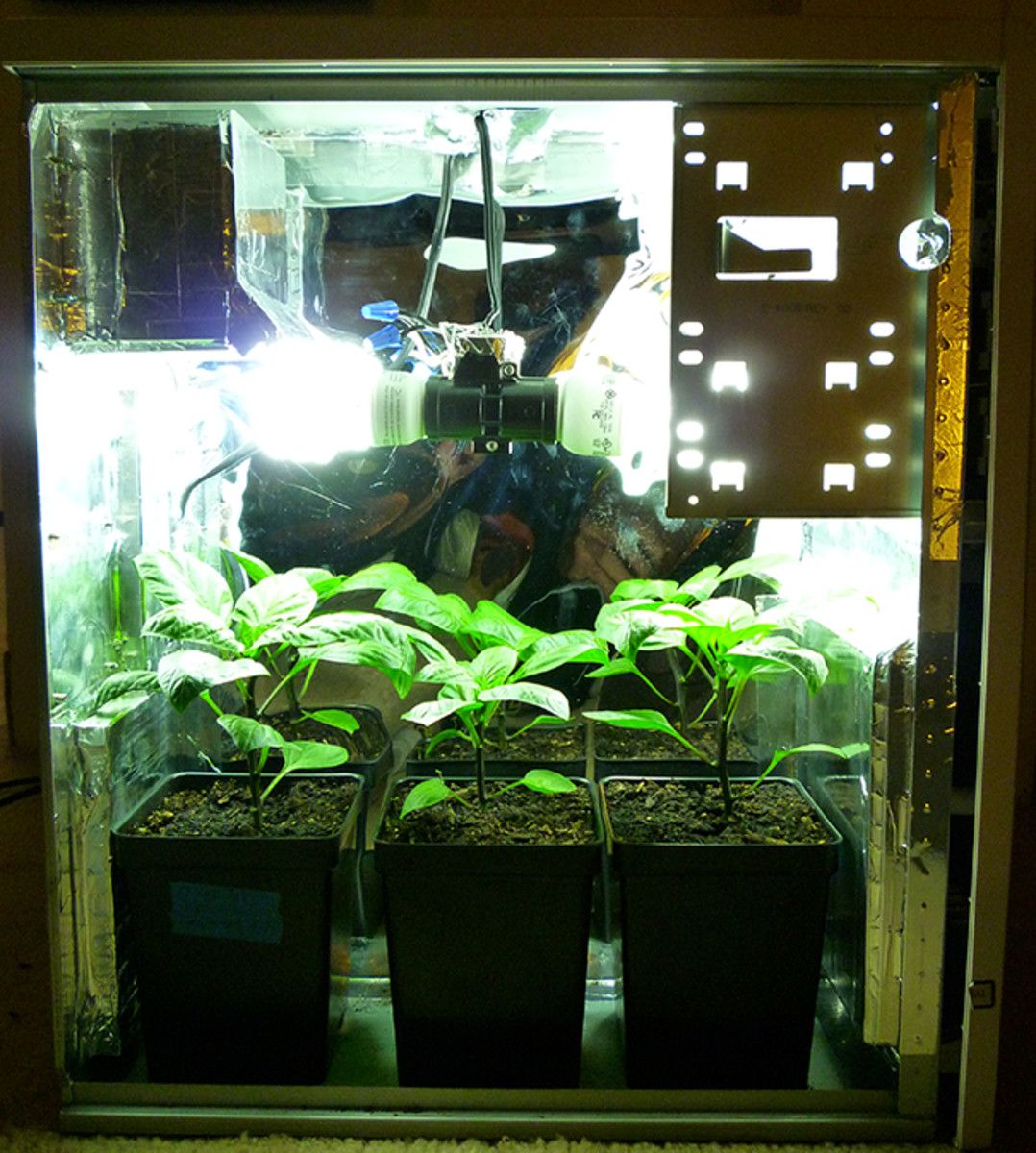 PC Grow Box with three Bell Peppers.