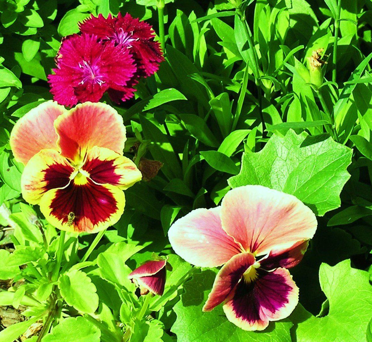 Two Pretty Pansies And A Dianthus Share A Patio Planter
