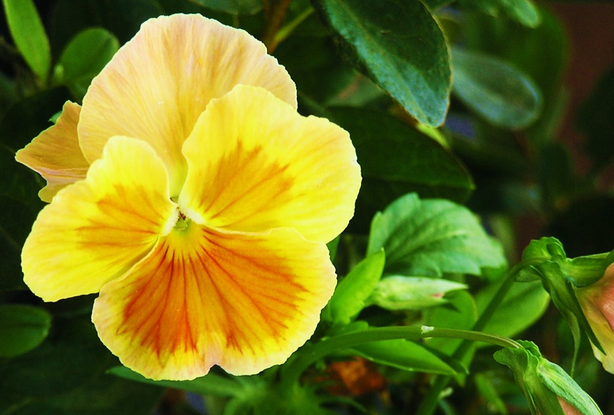 This cutie is a soft yellow Pansy in the Cider Punch series.  The two upper petals are peach colored 'wings'.