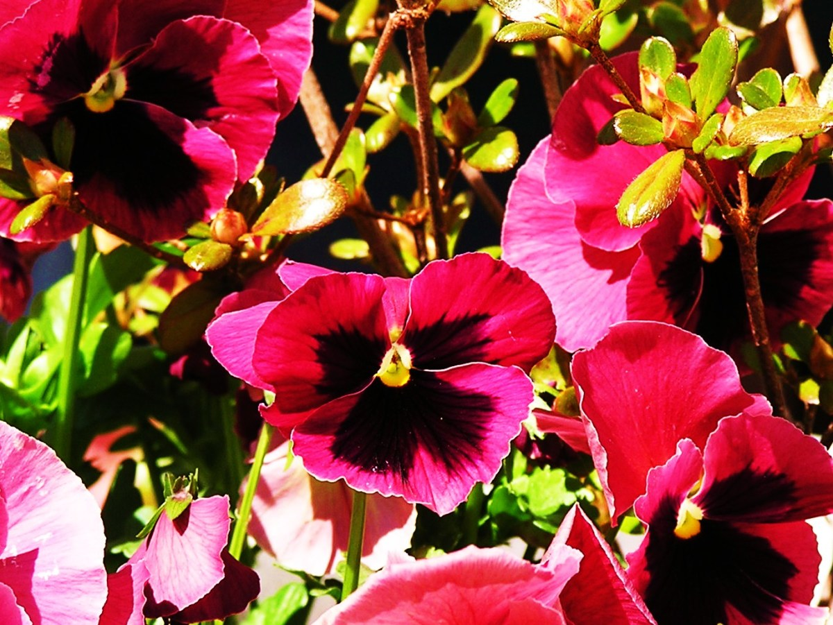 Blotched cherry pink Pansies share a garden planter with a pale pink Azalea bush.