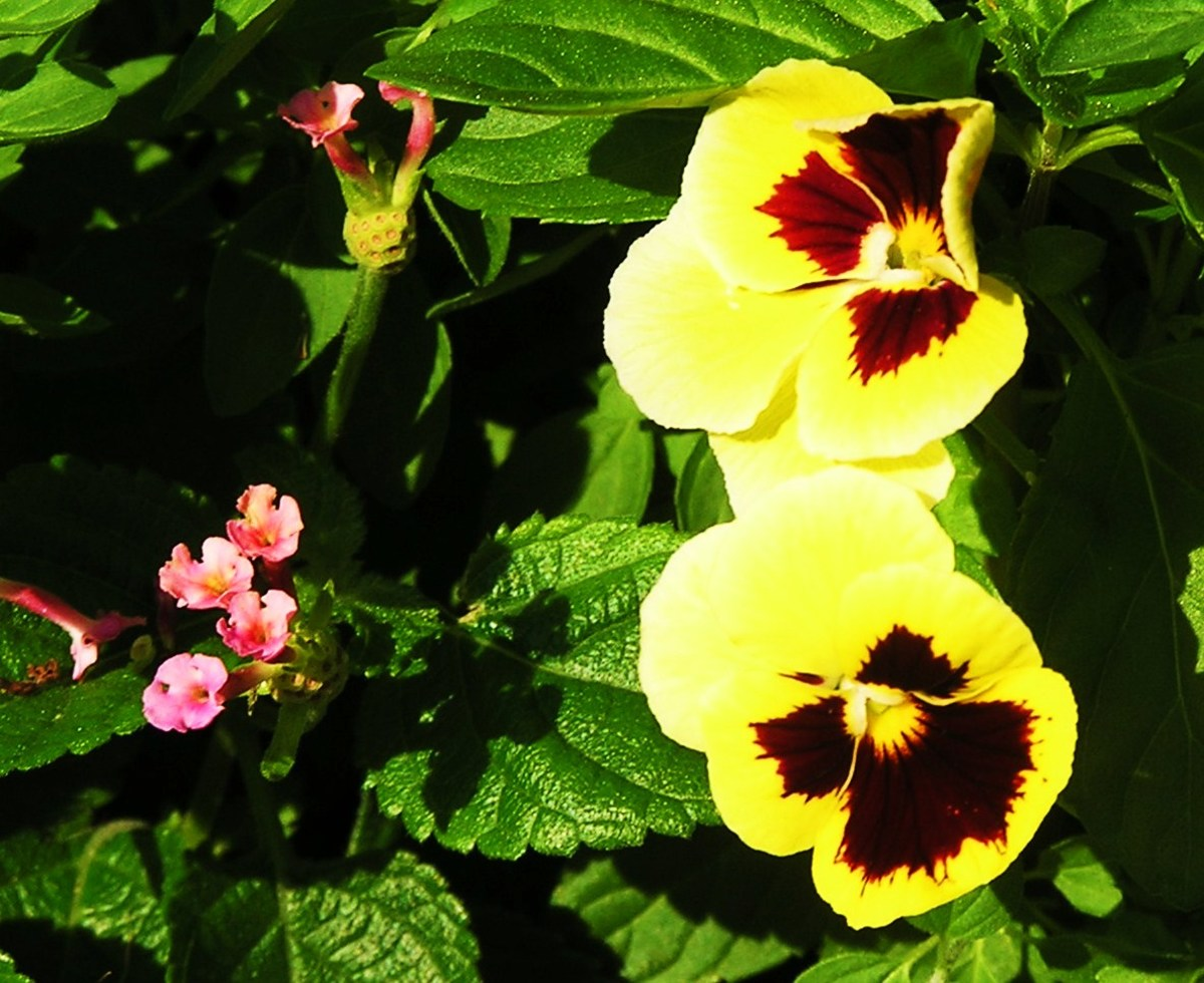 Two 'blotched' yellow Pansies and a pink Lantana share a combination garden planter.