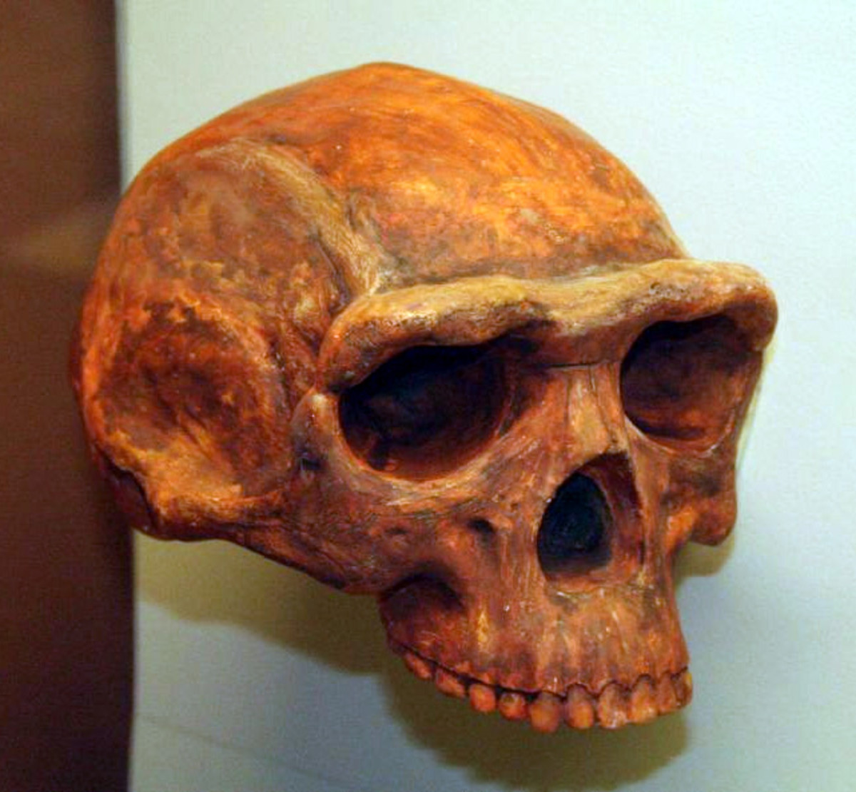 Homo erectus is the most 'human' looking of the species thus far, but still possesses a strong brow ridge and a brain capacity of only around 900 cubic centimetres
