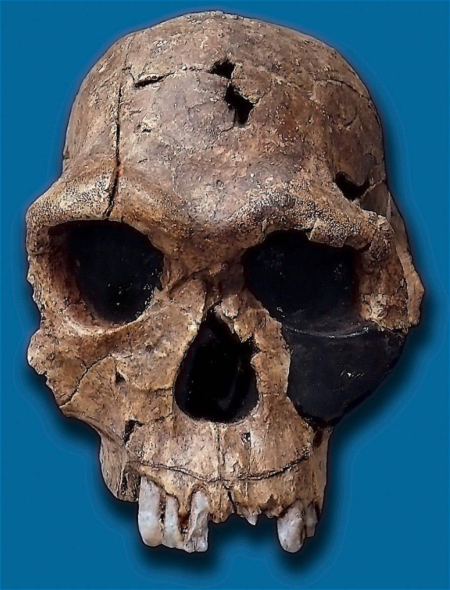 Homo habilis had a brain capacity around 50% larger than Australopithecus. This increased brain volume allowed 'Handy Man' to develop stone tools.