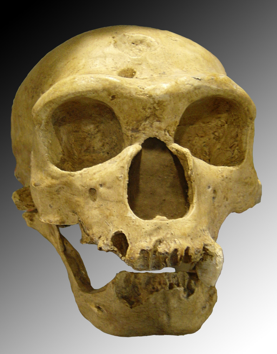Homo neanderthalensis actually possessed a larger brain at adulthood than Homo sapiens and were much stronger.