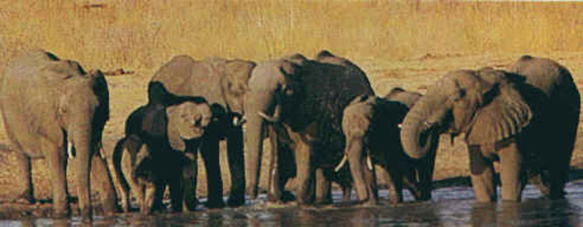 A family group at a waterhole. Families are always led by a Matriarch.