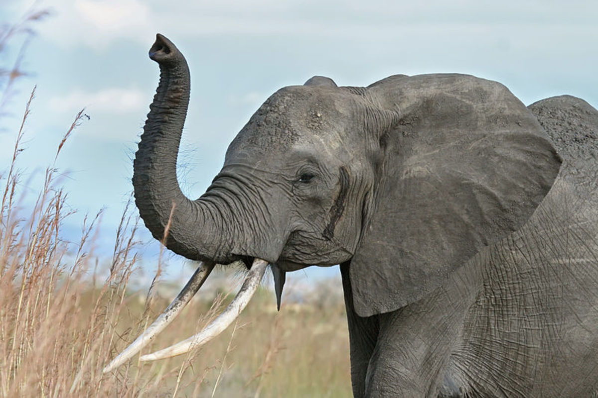 """A young bull at the beginning of """"must"""", this is when elephants are at their most dangerous. Mating season."""