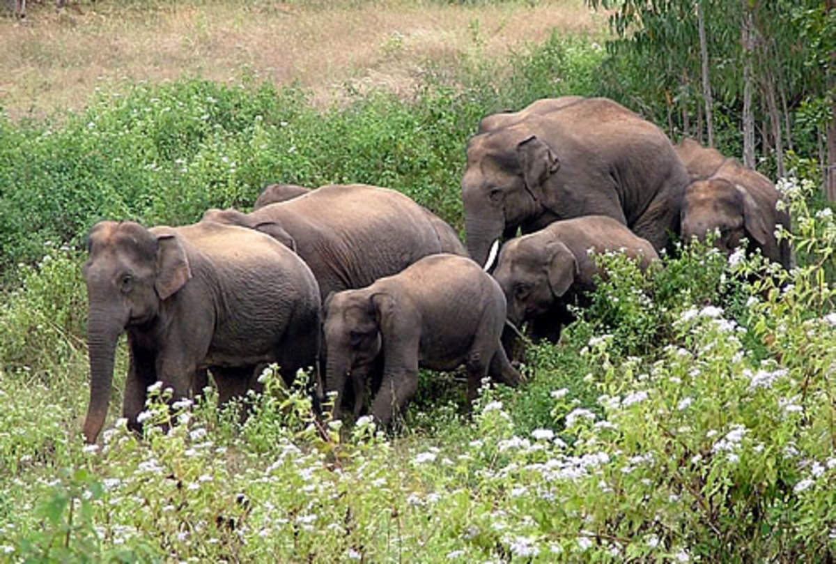 Family group again as with African Elelphants the groups are headed bythe oldest female.