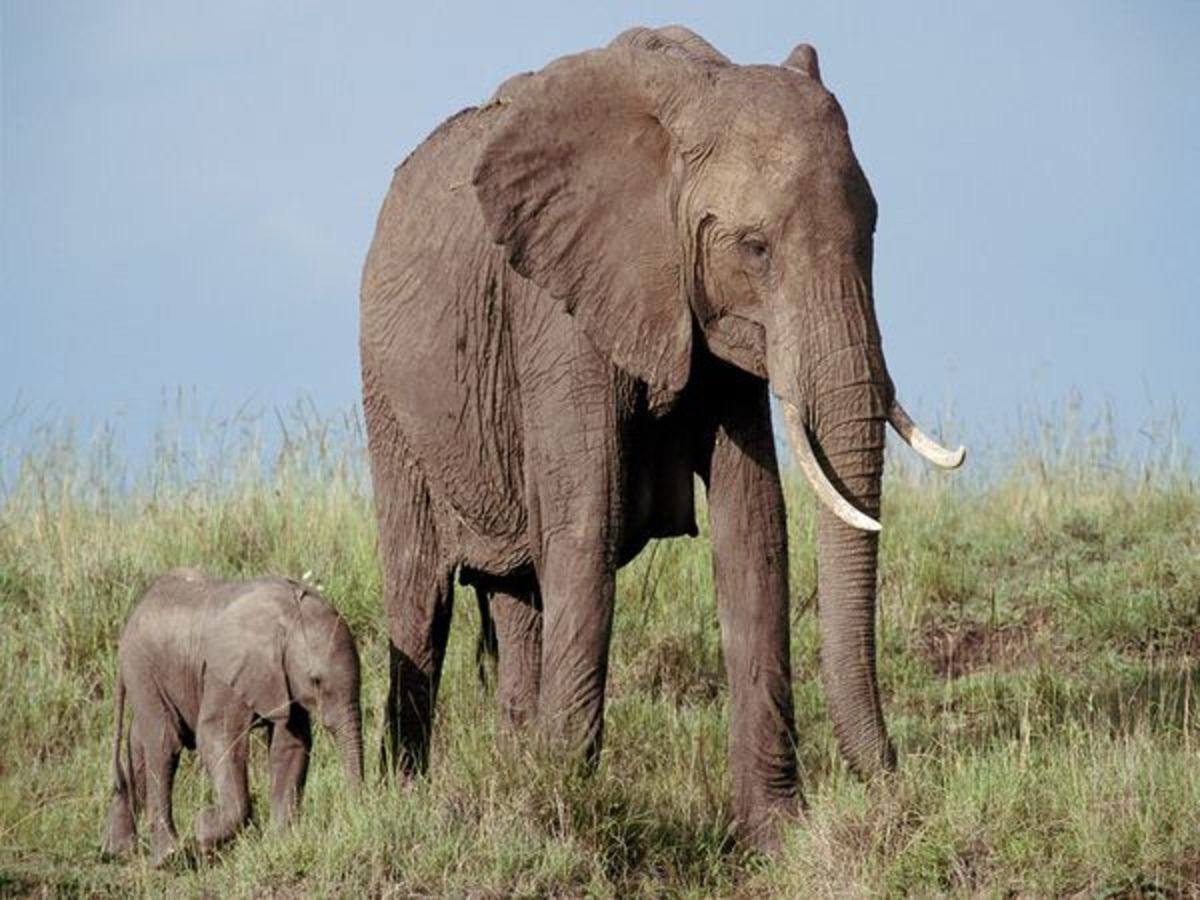 the-differences-between-the-african-and-indian-elephant