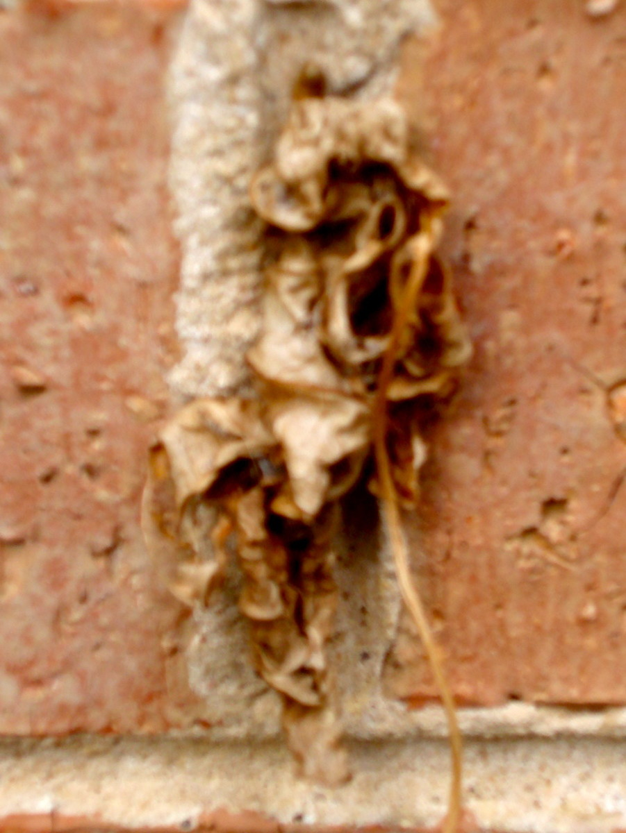 A camouflaged case-moth