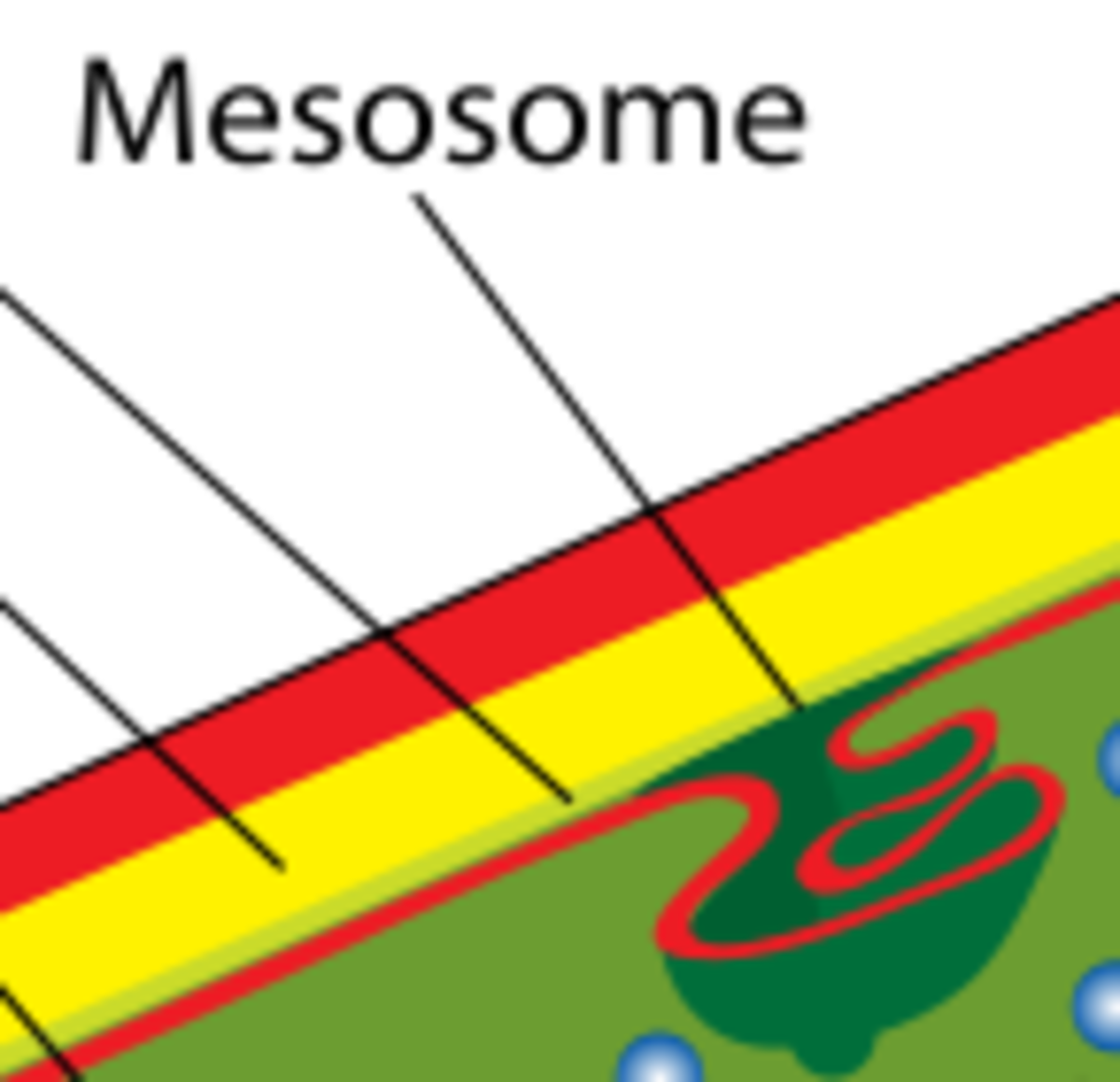 The structure of a Mesosome