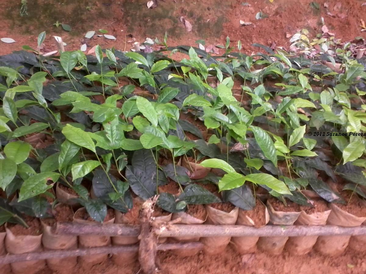V.P. Tea Cuttings