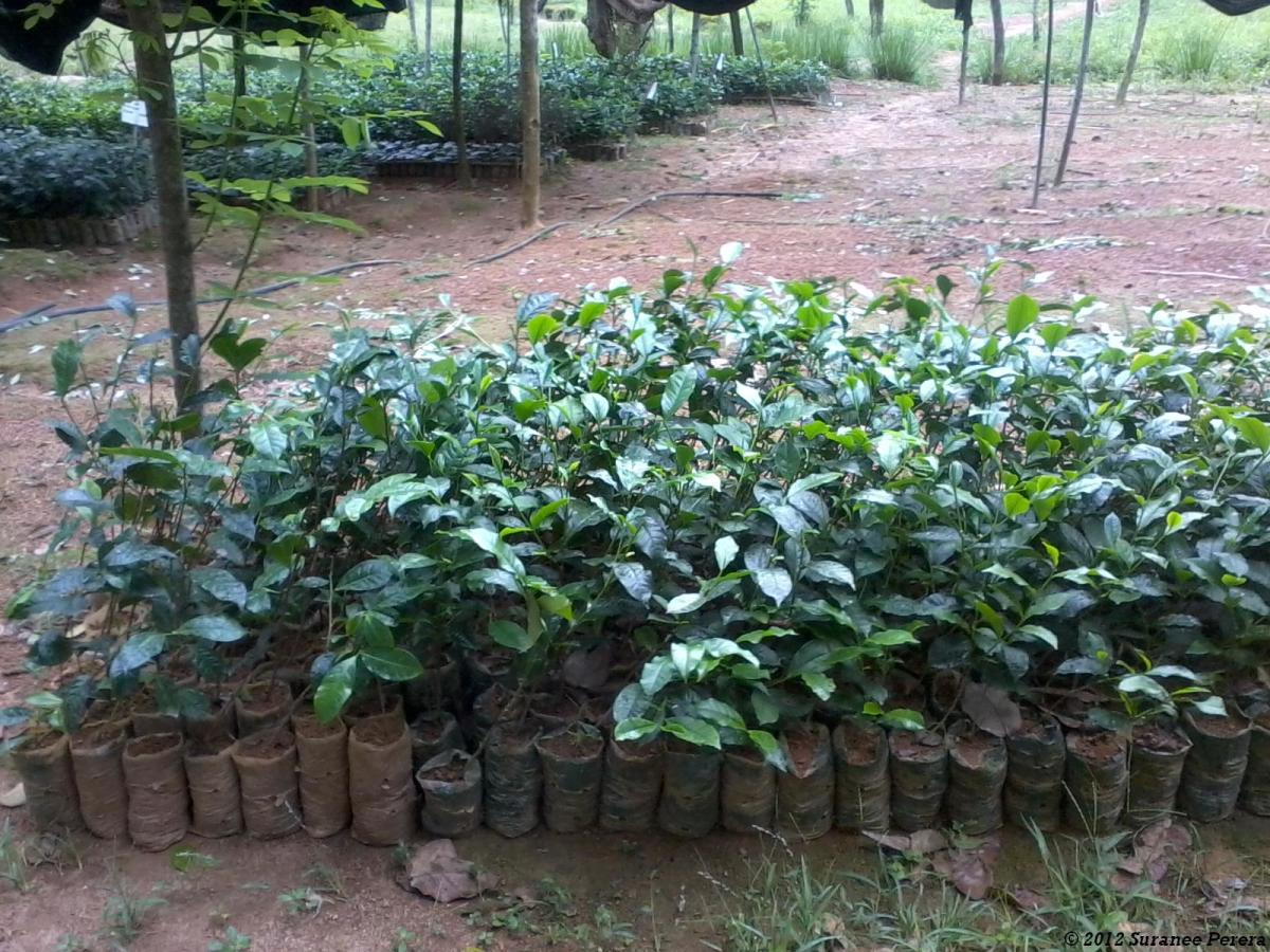 Tea Plants in Nursery Bags