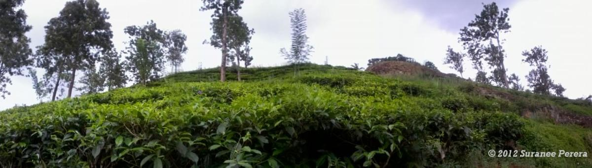 Ceylon Tea: Seedling Tea Plants and V.P Tea Plants