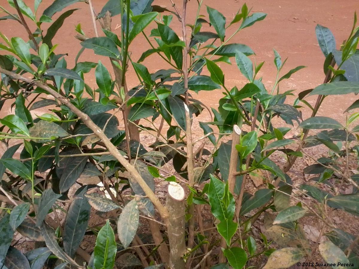 Pruned Tea Bush