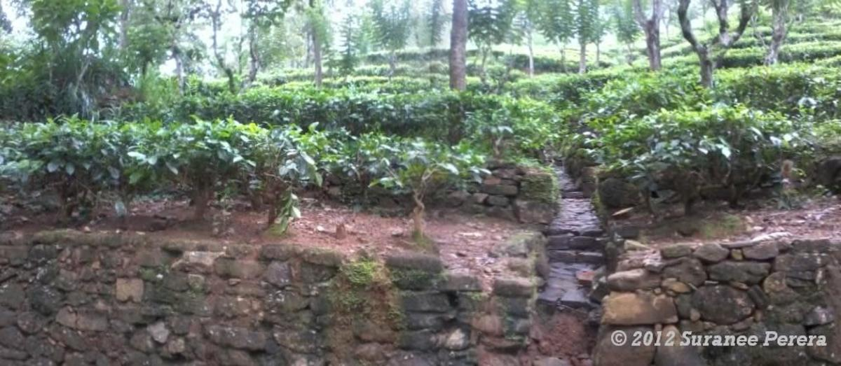 Contour terrace and contour drains among tea bushes