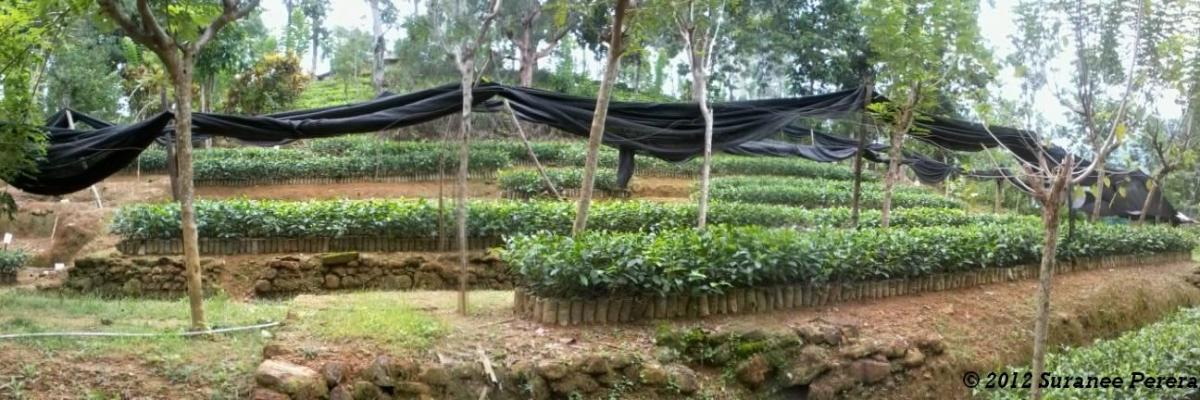 Tea Nursery