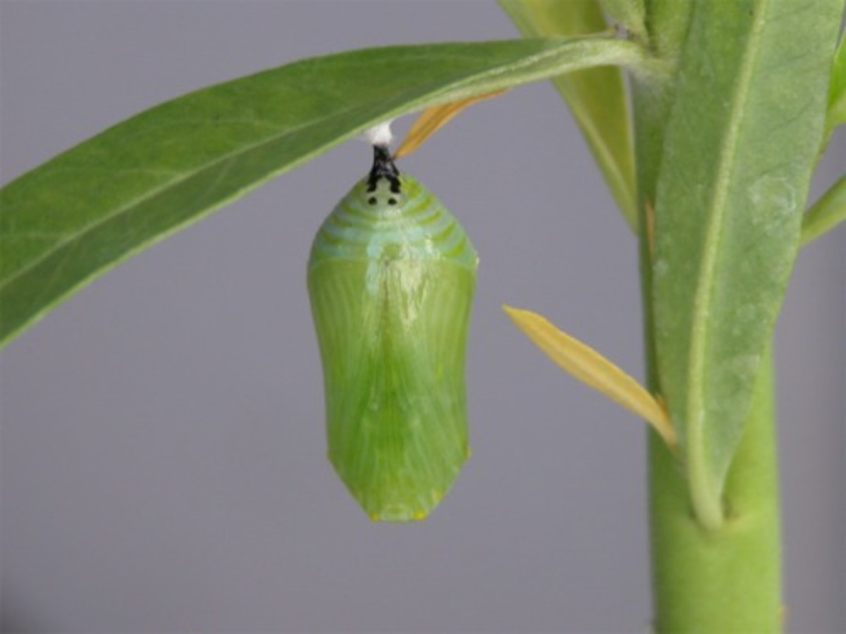 Monarch Pupa In This Photo. The Adult Monarch Butterfly Will Emerge Soon.