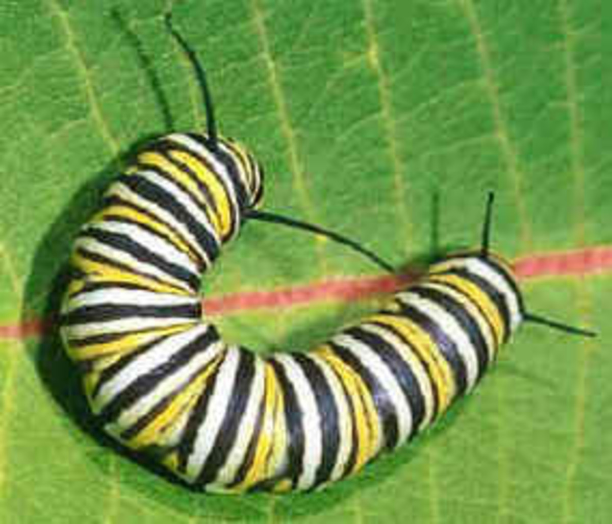 Nice Photo Of A Monarch Caterpillar.