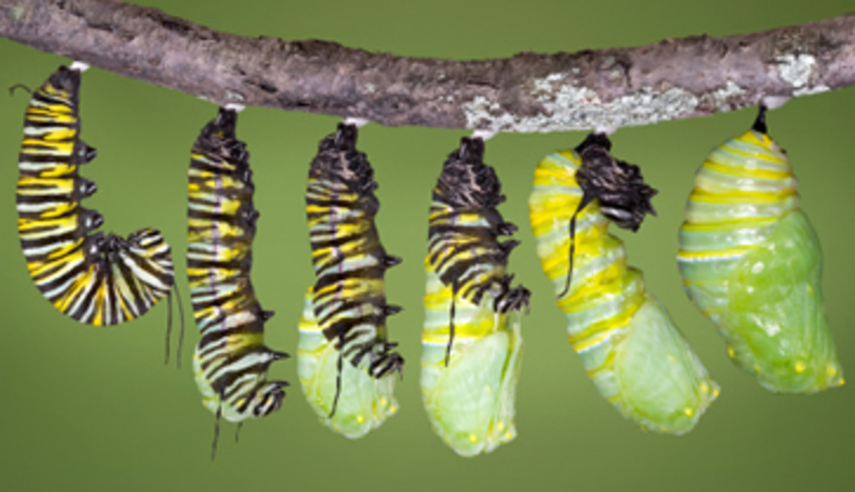 Monarch Caterpillar Becoming a Chrysalis