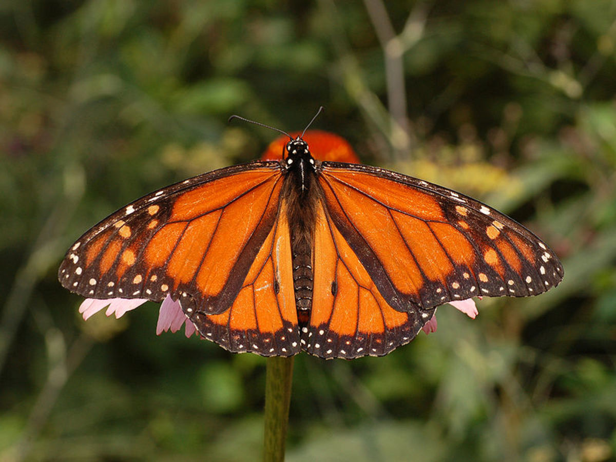 Monarch Butterflies And What You Can Do To Save Them
