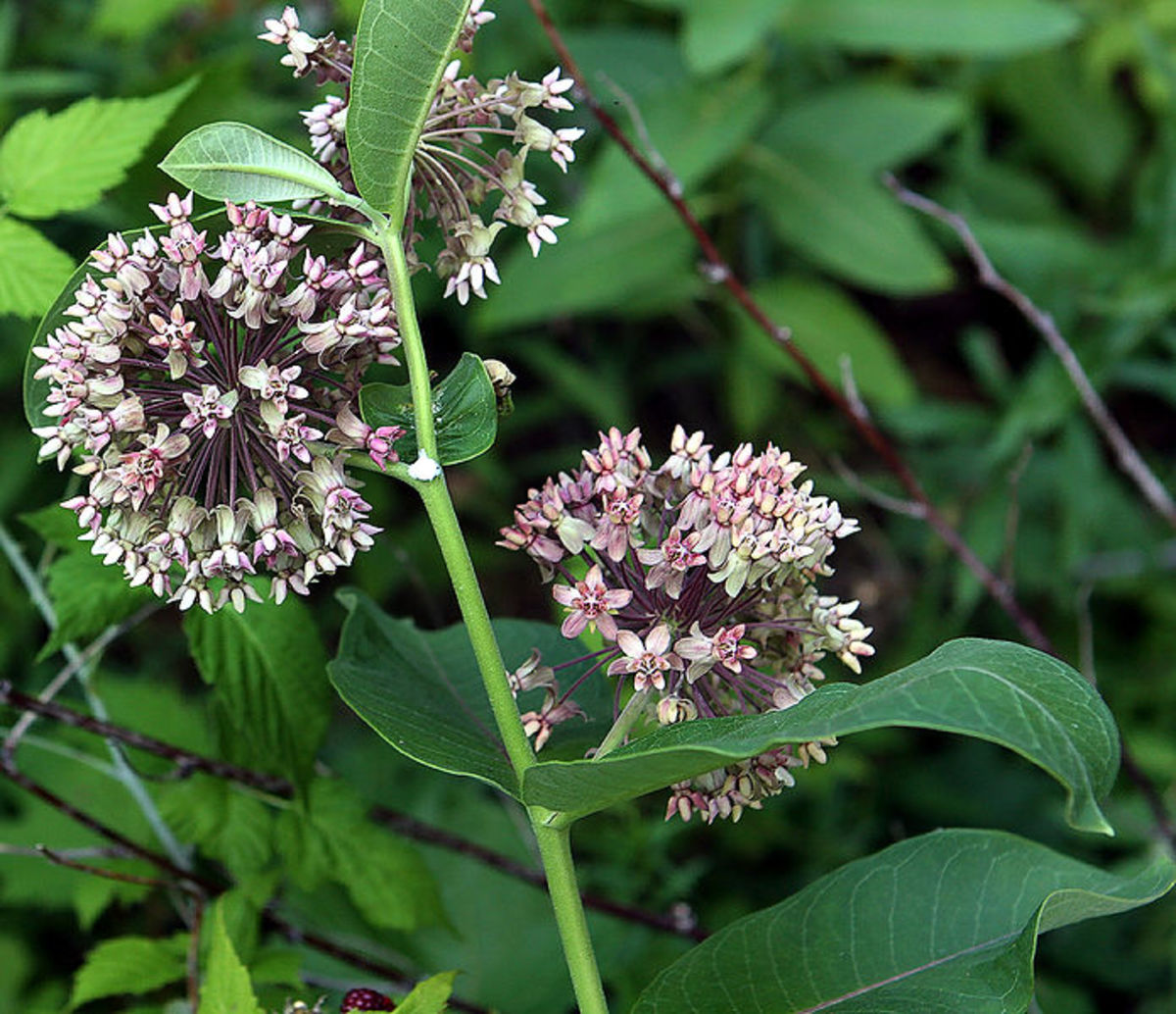 Milkweed is necessary for the life cycle of the Monarch Butterfly.