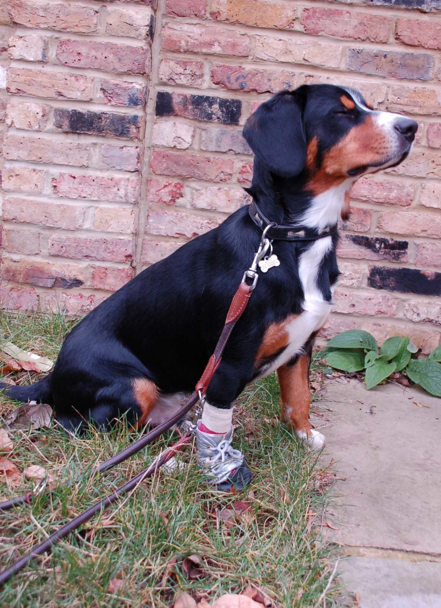 A Dog Boot can help protect the bandages on your dog's paw.