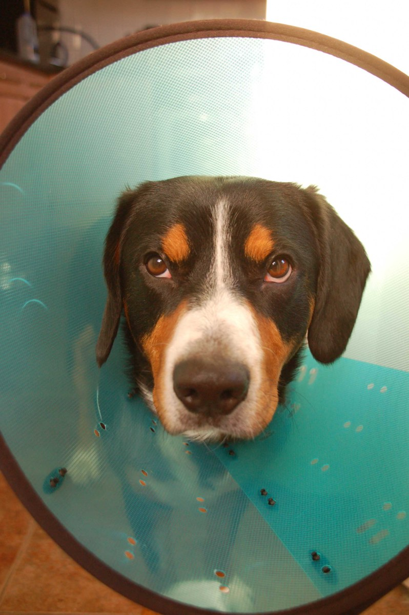 An Elizabethan Collar can stop your dog from licking a wound - just don't expect him to like wearing it!