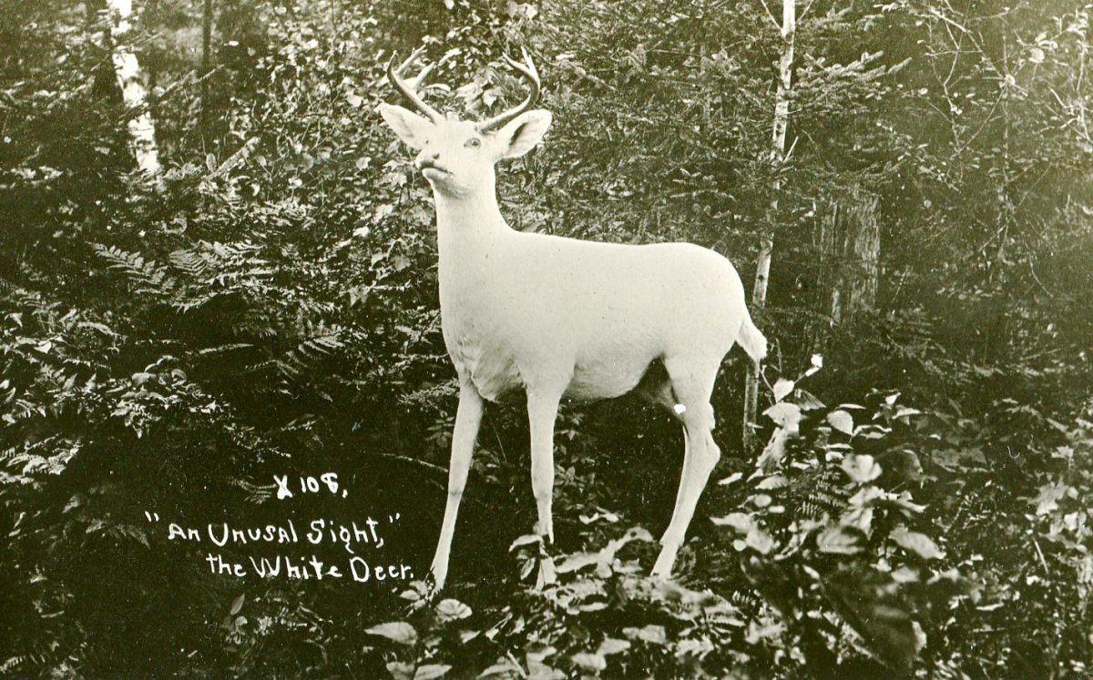 A taxidermy example in an unusual outdoor pose. Location unknown. This picture would date from early last century, perhaps around 1910. While this adult stag is posed in a naturalistic setting it is clearly a stuffed and mounted specimen.