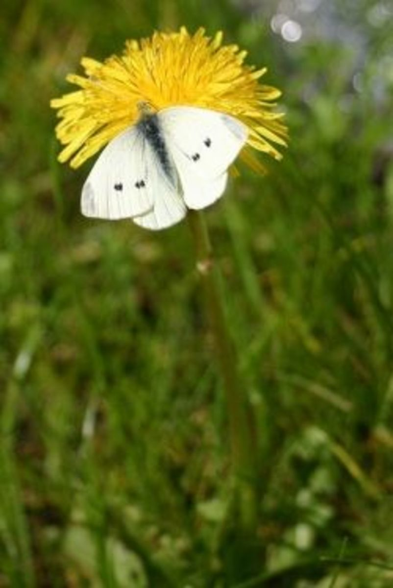 Female small cabbage white