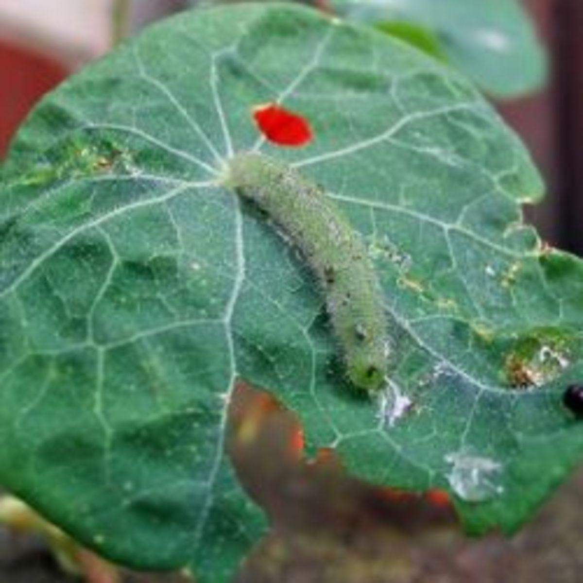 A caterpillar of Pieris rapae