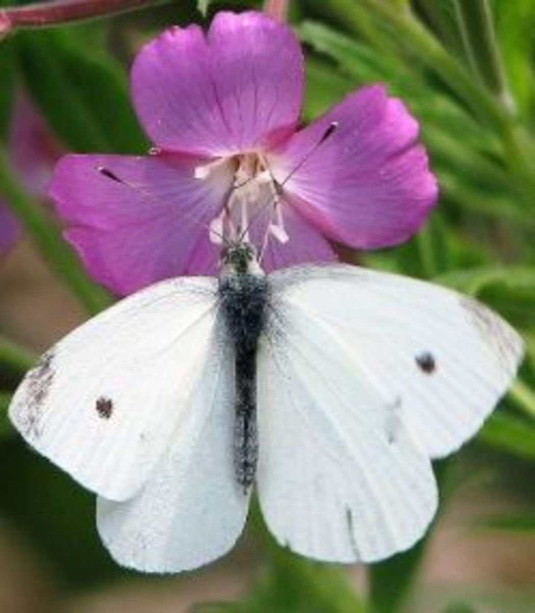 male small cabbage white