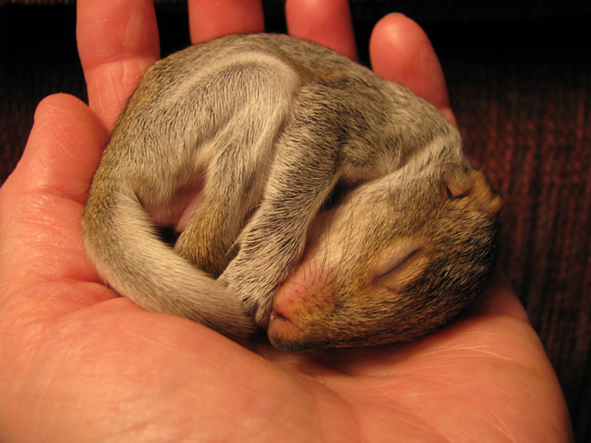 Squirrels are commonly orphaned