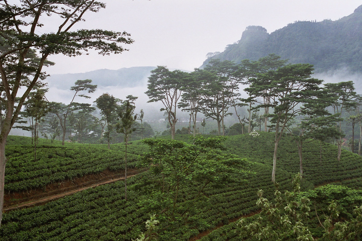 'Licensed under the Creative Commons Attribution-Share Alike 2.0 Generic license'. See: http://en.wikipedia.org/wiki/File:Sri_Lanka-Tea_plantation-02.jpg