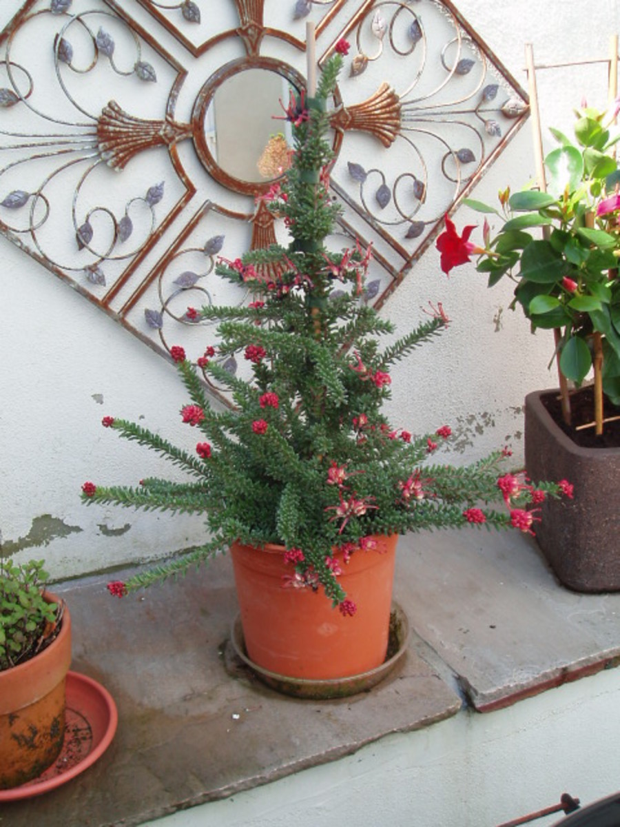 It is like a small Christmas Tree, with little red flowers that produce black seeds.