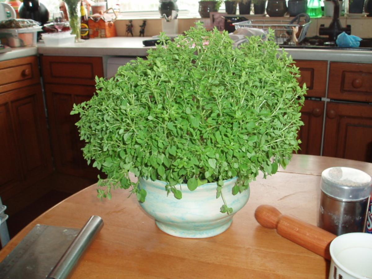 Healthy bunch of windowsill herbs