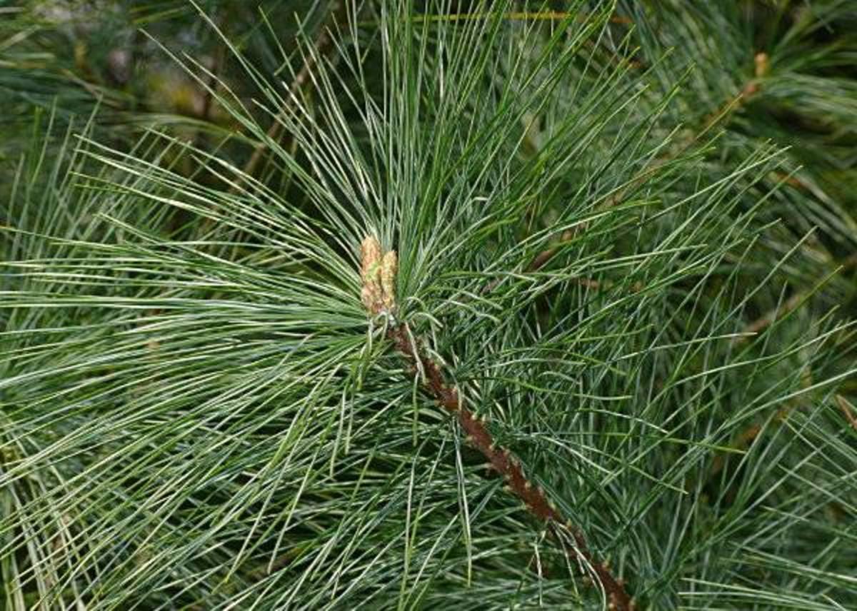 Evergreen Pine White Fir