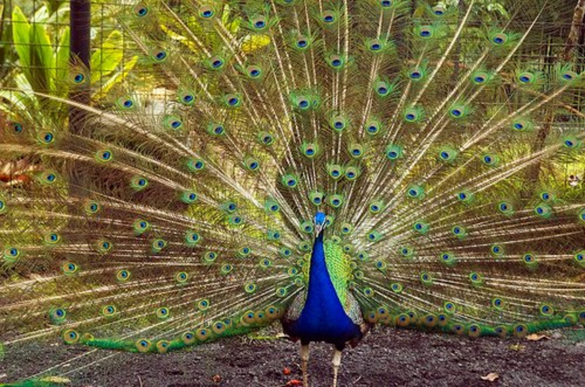 Peacock fanning its plumes