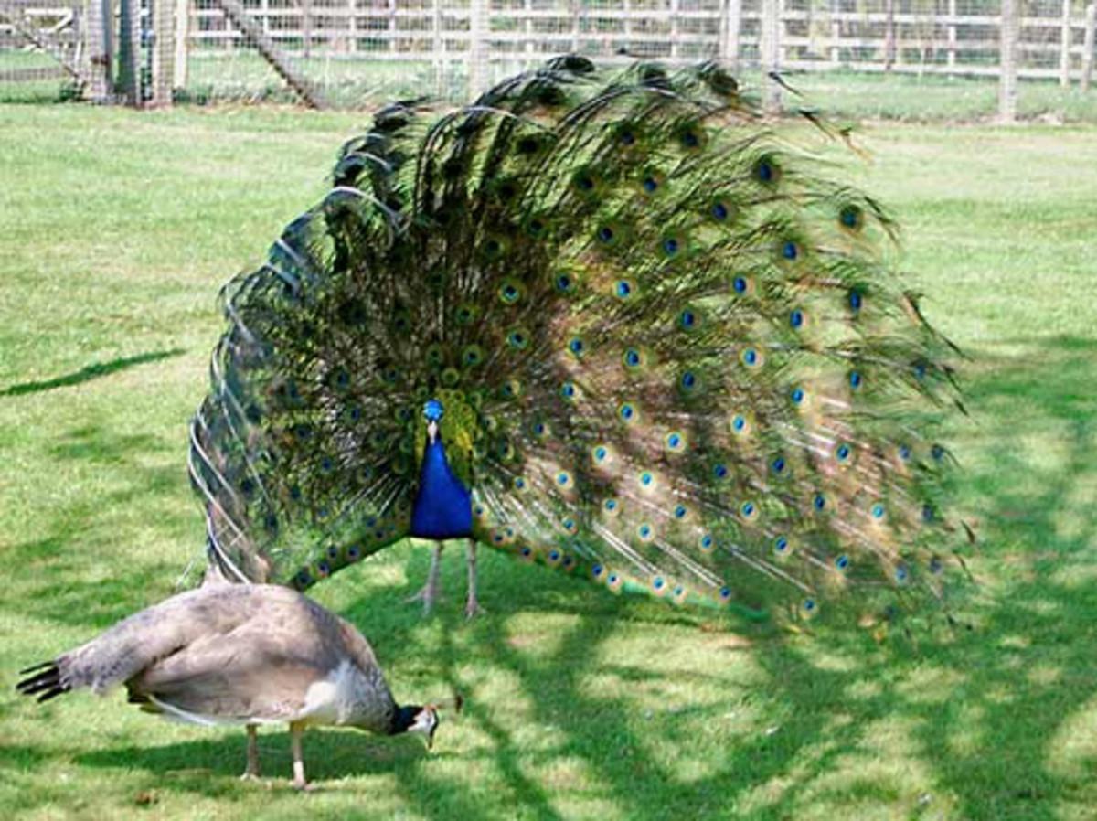 Peacock courtship