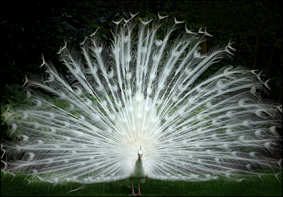 White peacock displaying its plumes