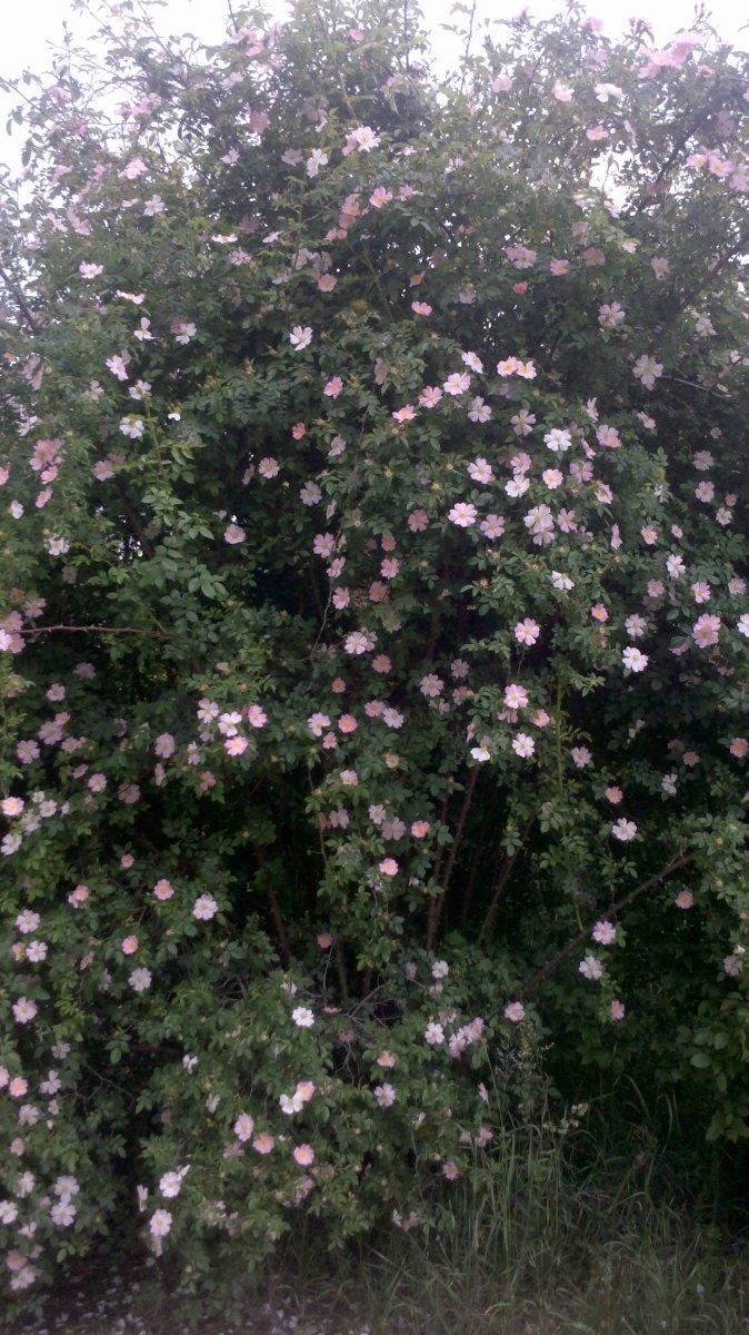 Blooming dog rose bush (Rosa canina L.)