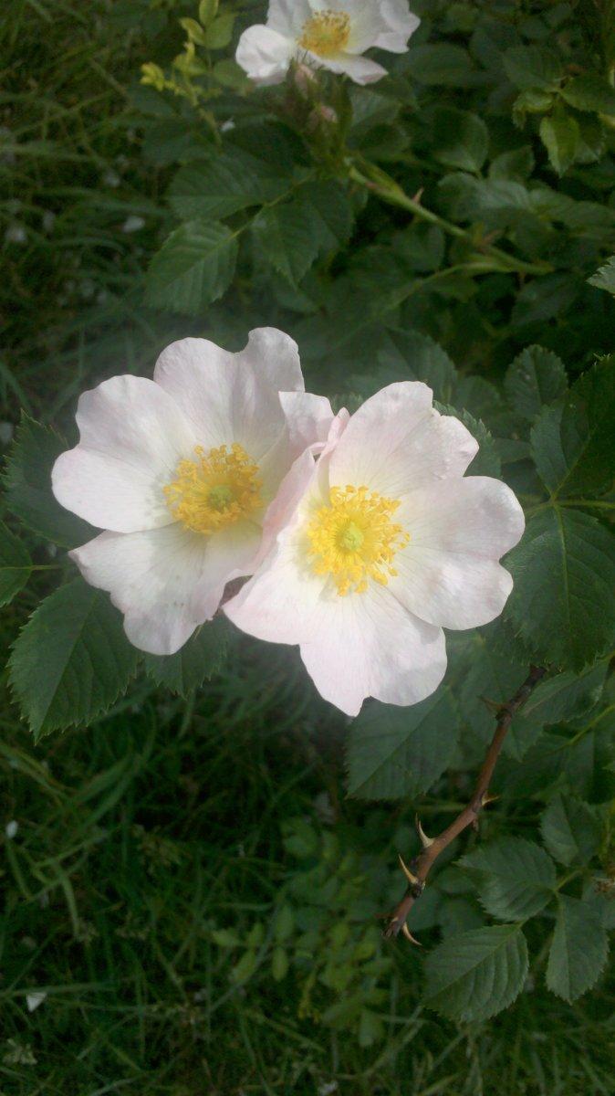 Dog rose flower. (Rosa canina L.)
