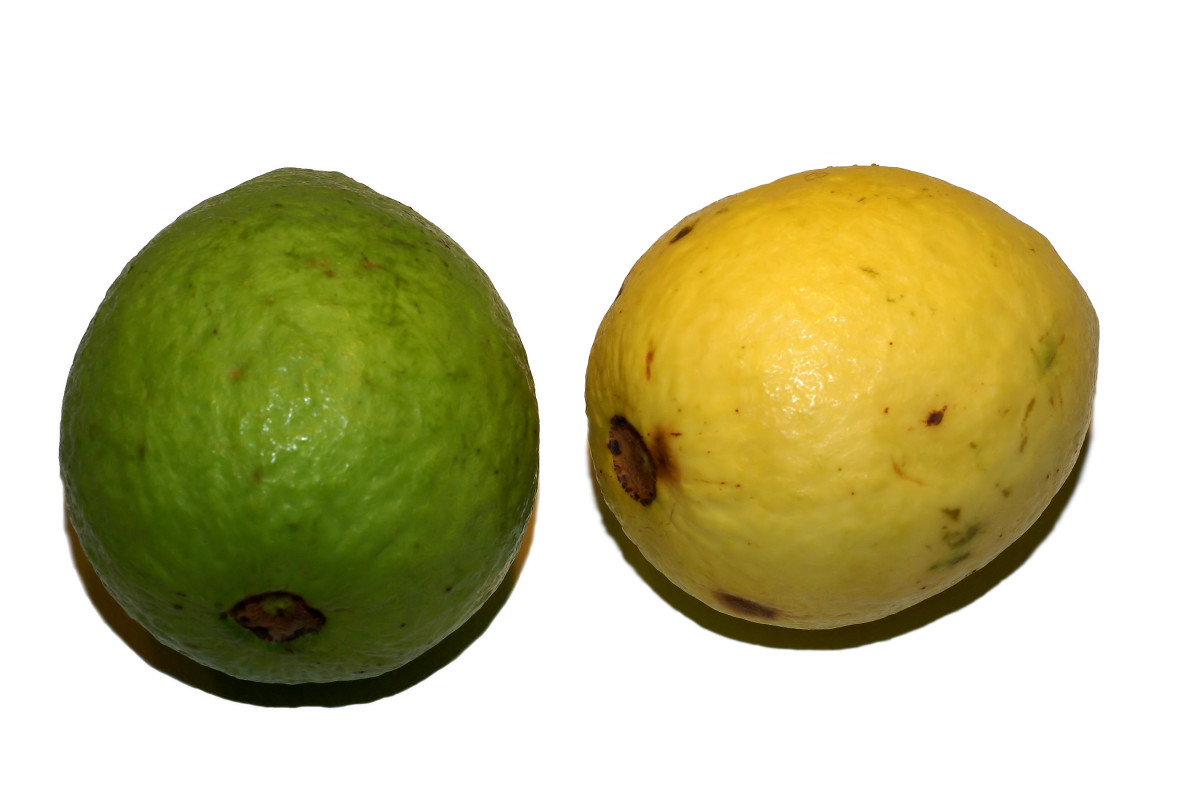 The health benefits of guava fruit hubpages unripe ripe guava ccuart Image collections