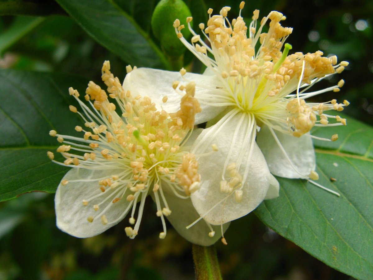 the-health-benefits-of-guava-fruit