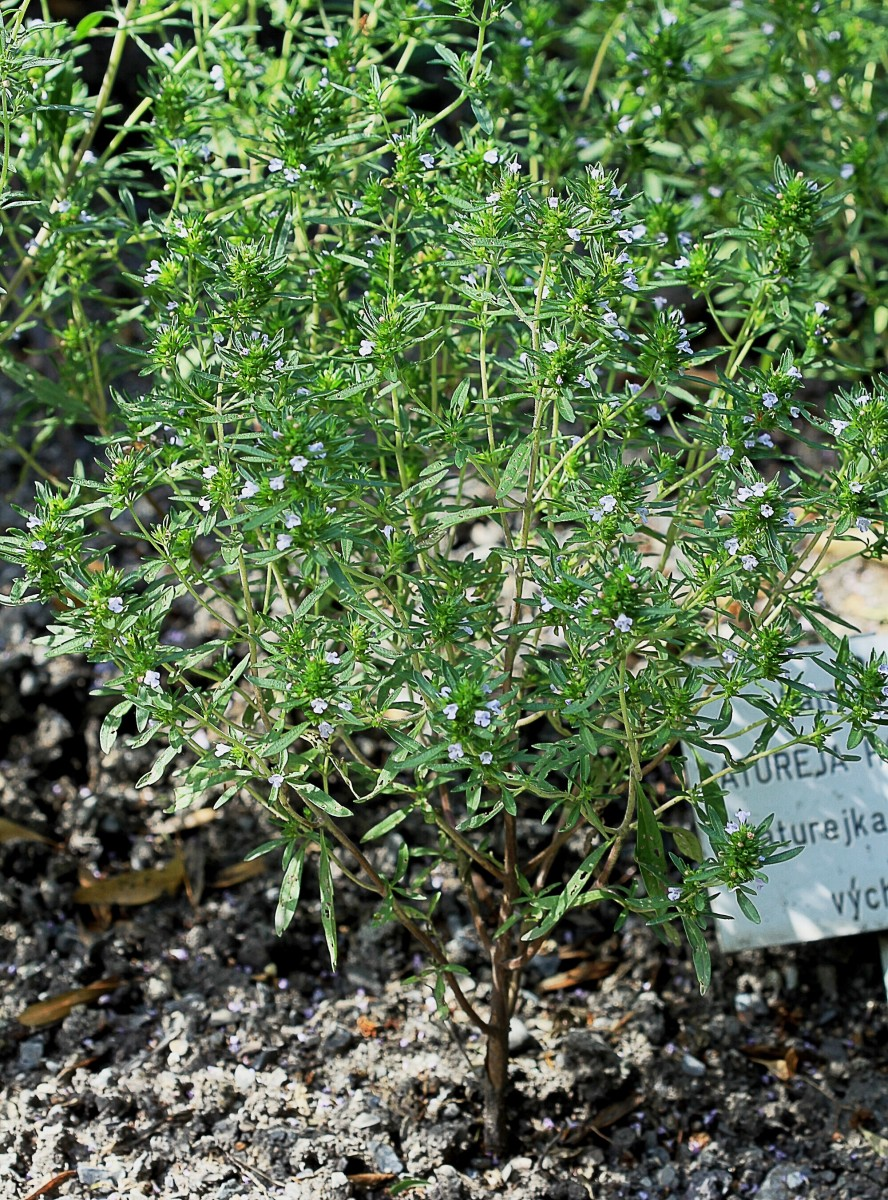 Summer Savory: A Herb With a Lovely Flavor and Aroma