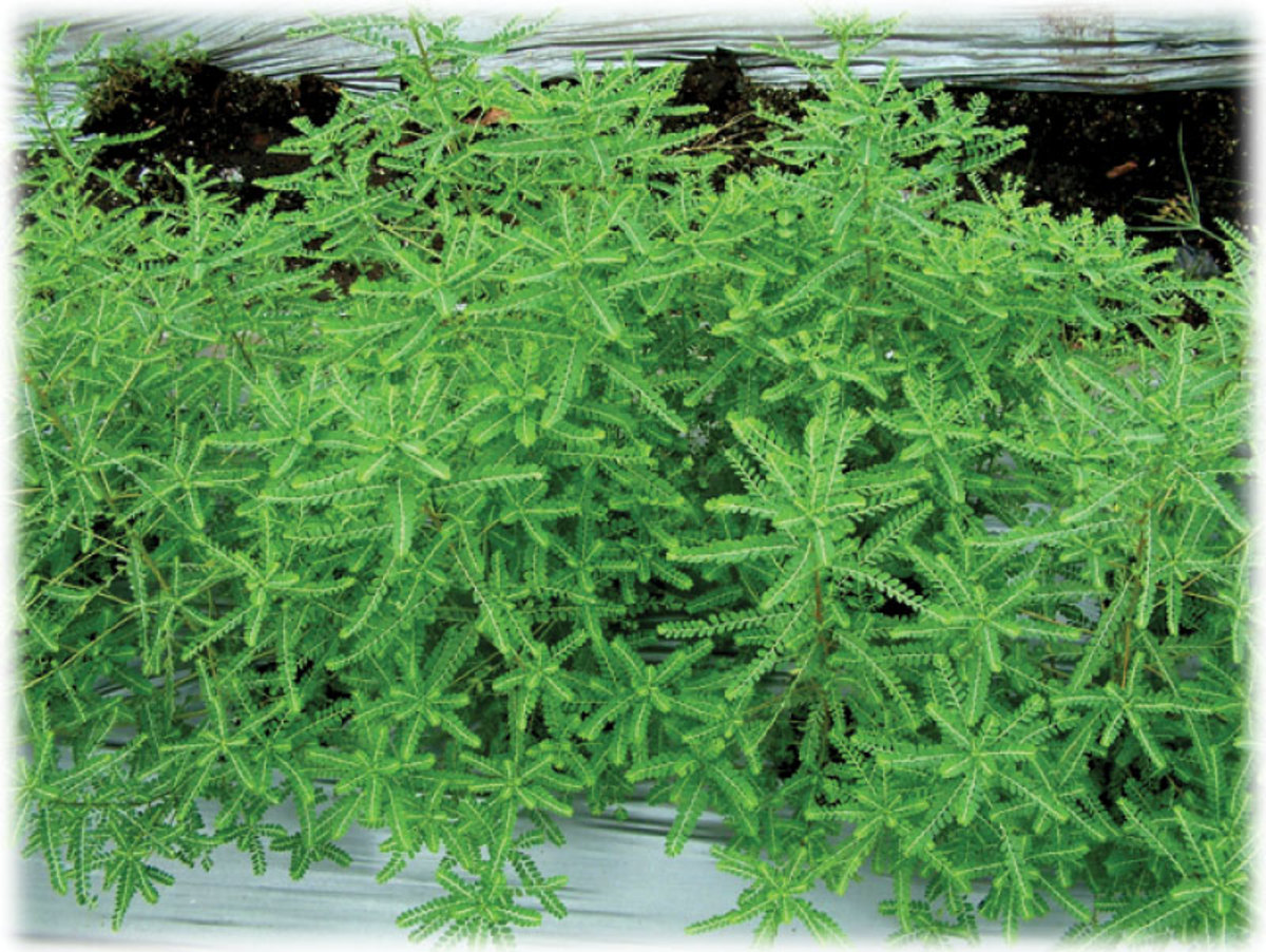 Phyllanthus amarus or Phyllanthus niruri, the best home remedy for jaundice and gallbladder stones