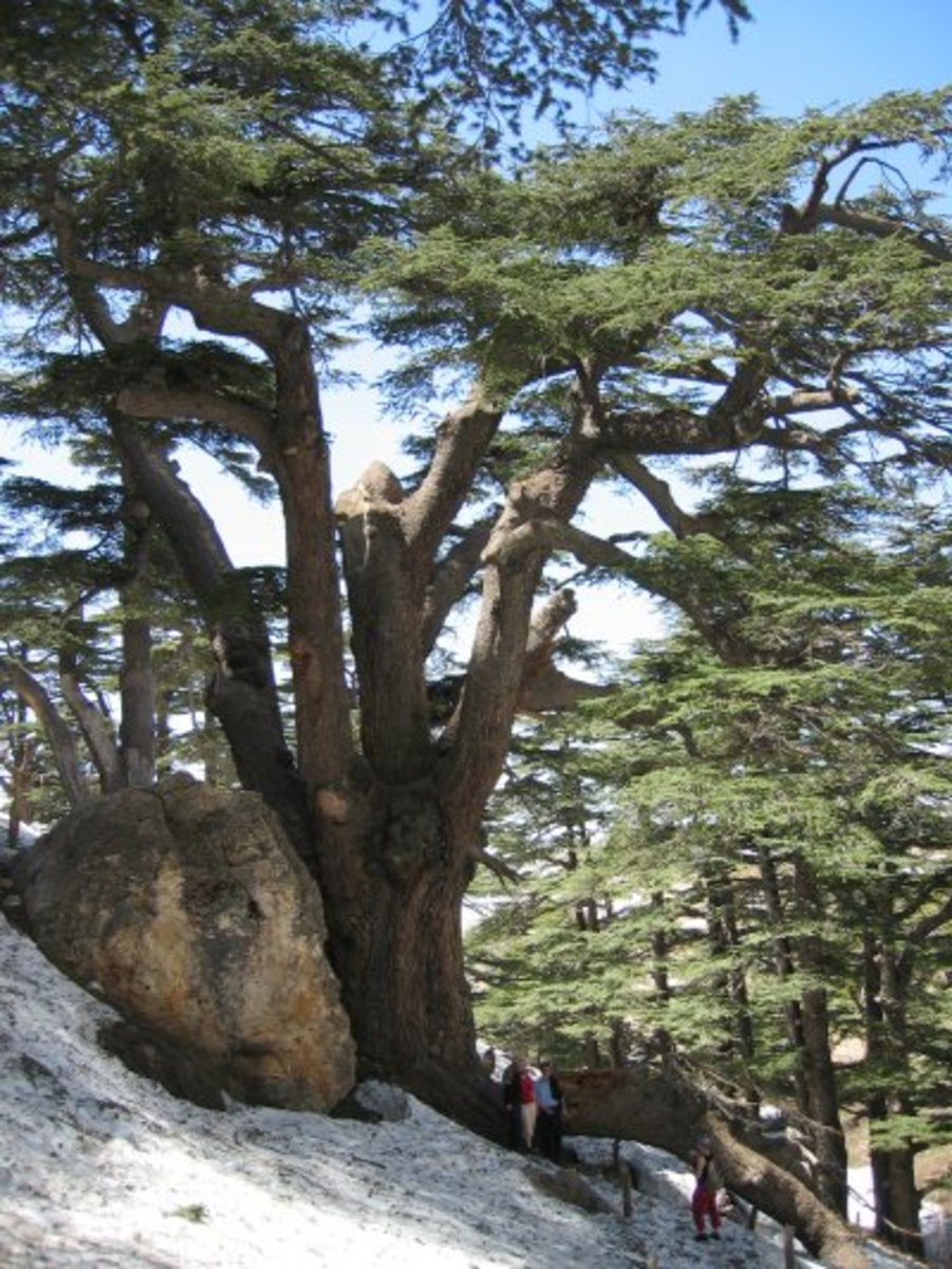 Individual Lebanese cedars can grow to a height that exceeds 100 feet.