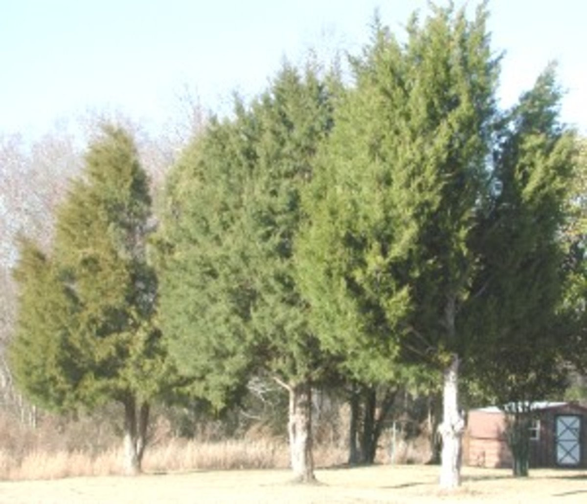 The eastern redcedar (Juniperus virginiana) is sometimes called the eastern juniper