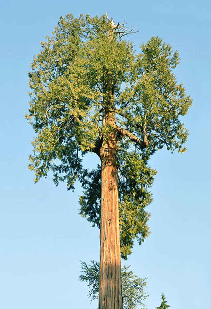 The western redcedar is a towering commercially valuable tree of the Pacific Northwest