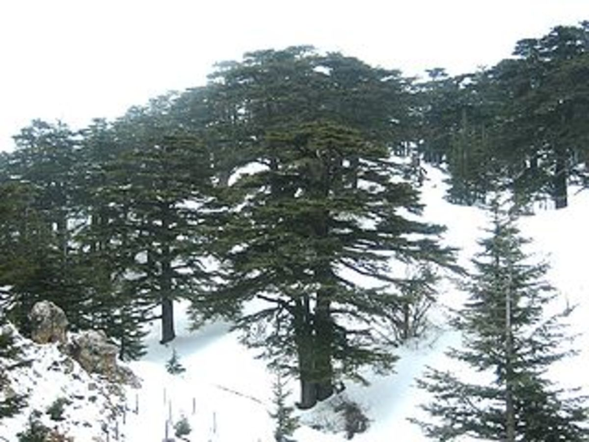 The Lebanese Cedar (Cedrus libani) still grows in a few remote places in the Middle East.