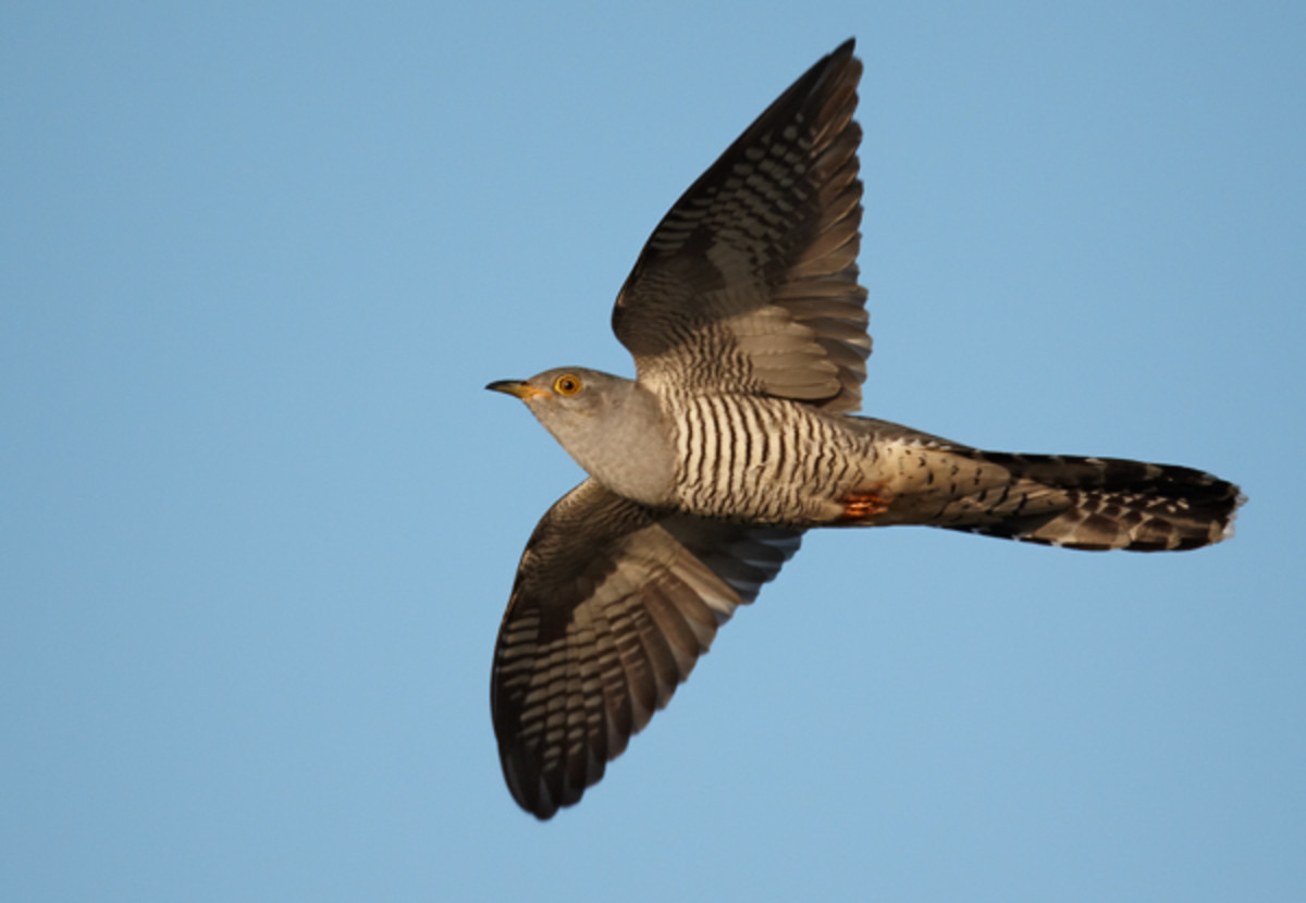 It's thought that the common cuckoo's passing resemblance to a sparrowhawk helps it to avoid harassment from small birds, which is crucial in it being able to breed successfully.